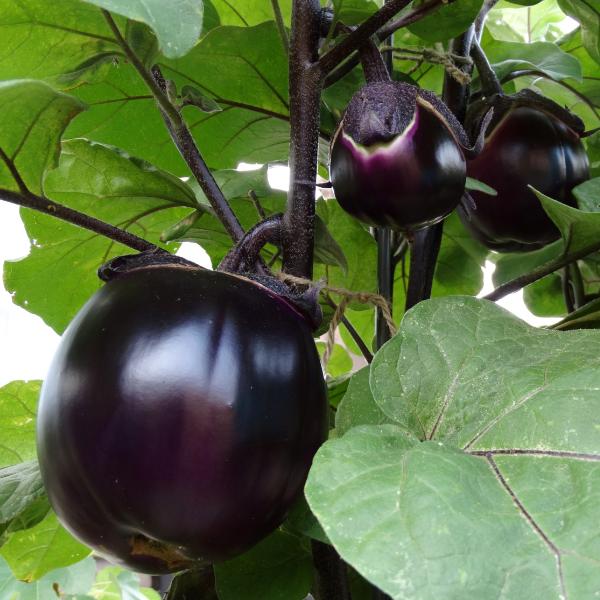 Melanzana violetta pianta