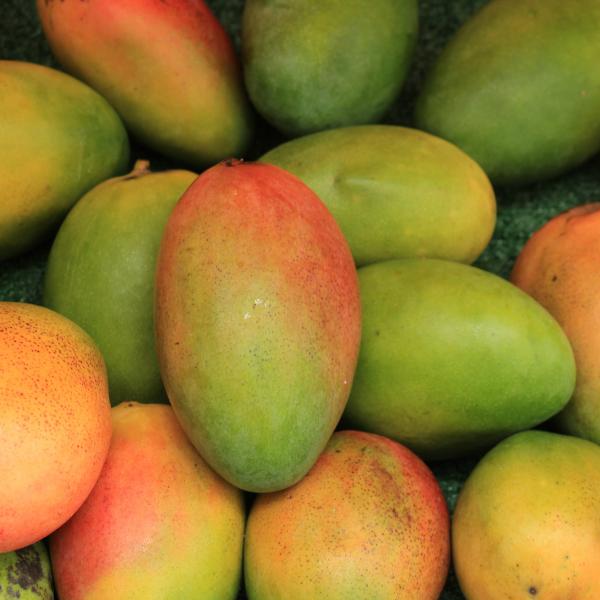 Raccolta del Mango