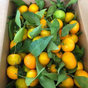 Confezione clementine primo sole da 15 kg