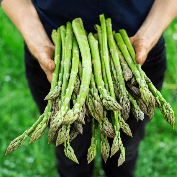 Raccolta asparagi freschi