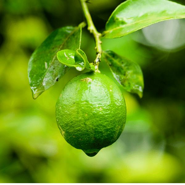 Limoni verdelli pianta